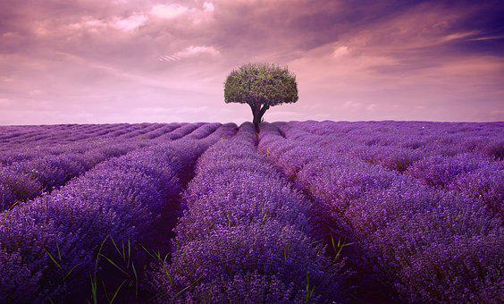 Tree, Lavender, Lonely, Artwork, Art, Lines, Nature