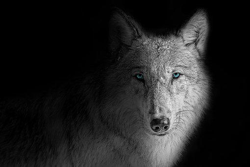 Wallpaper, Background, Wolf, Animal, Beast, Black, Dark
