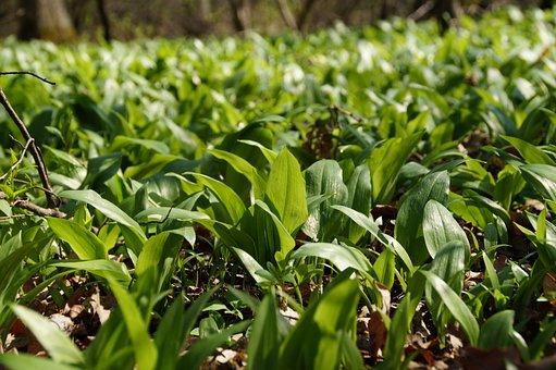 Garlic, Bear, The Floodplain, Forest, The Vegetation