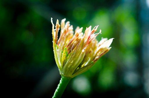 Hut Non, Flower, Flower Buds, Blooming, Flowers Bloom