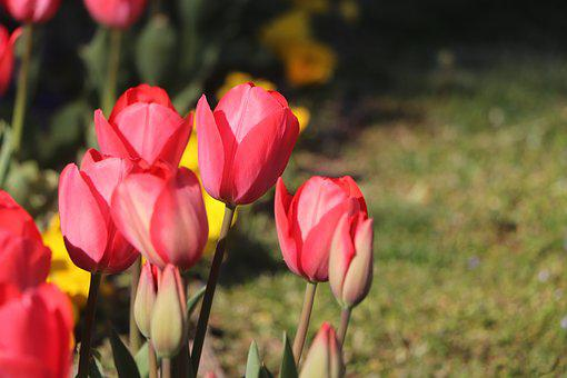 Tulips, Flower, Nature, Green, Spring, Blooming, Garden