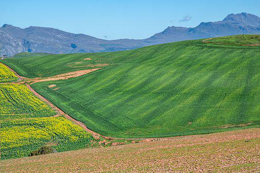Canola Fields, Rolling Hills, Cultivation, Crops