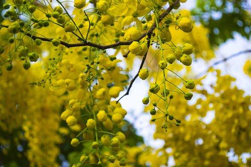 Cassia Fistula, Golden Shower, Purging Cassia