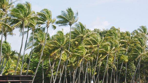 Beach, Palm Trees, Nature, Coconuts, Island, Sea, Ocean