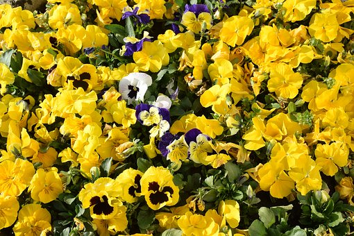 Flower, Violet, Yellow, Spring, Garden, Color, Nature