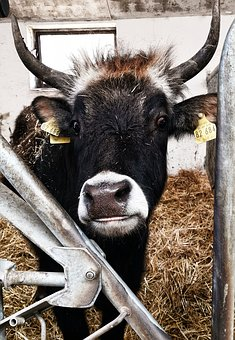 Beef, Cowshed, Animal Photography, Bull, Farm