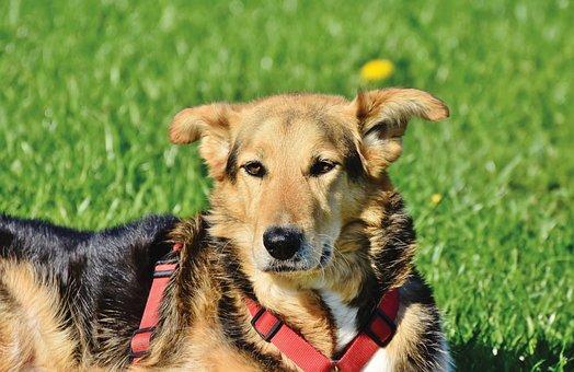 Shepherd Mongrel, Mixed Breed Dog, Dog, Hybrid