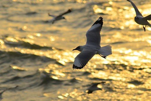 Seabird, Birds, Sea, Bangladesh, Evening, Flying
