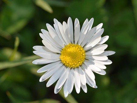 Fleure, Marguerite, Daisy, Petals, White Petals