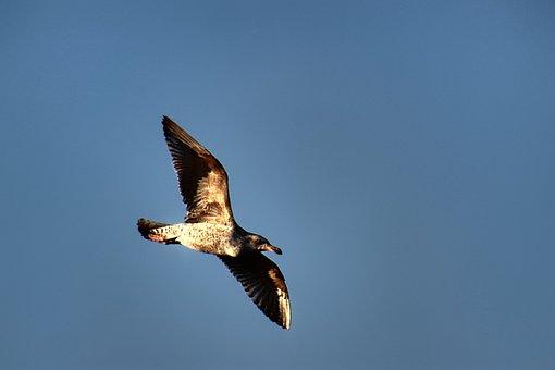 Seagull, Flight, Bird, Wing, Flying, Nature, Sky