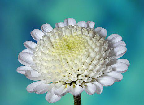 Chrysanthemum, Flower, White, Bloom, Blossom, Nature
