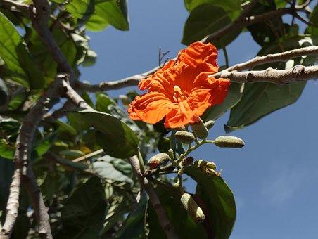 Cordia, Cordia Sebestiana, Tree, Flower, Orange