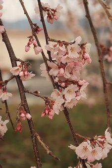Flowers, Cherry Blossoms, Flowering, Bud, Branch