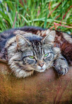 Cat, Mainecoon, Furry, Fluffy, Large, Mean, Resting