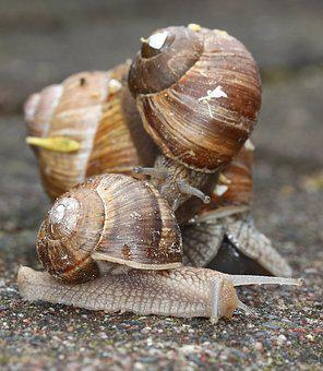 Snails, Snail, Shell, Nature, Garden, Macro, Slowly