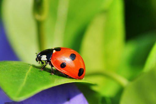 Ladybug, Macro, Insect, Beetle, Nature, Points, Red