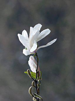 Magnolia, Flowers, Art, Spring, Magnolia Blossom