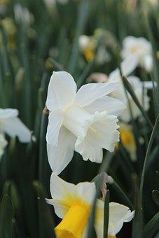 Narcissus, Narcissus White, Spring, Flowering, Garden