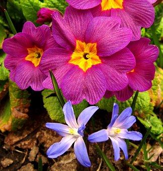 Starflower, Blue, Spring, Violet, Nature, Flowers