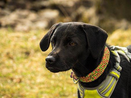 Dog, Black, Pet, Animal, Cute, Portrait, Snout, Eyes