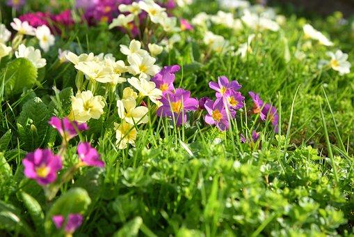 Spring, Meadow, Grass, Cowslip, Primroses, Green