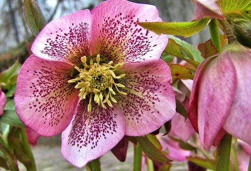 Christmas Rose, Speckled, Rose, Violet, Garden, Flowers