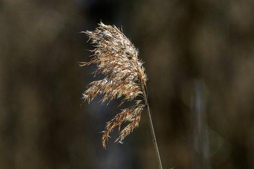 Reed, Sedge, Rest, Grasses, Nature Conservation