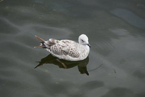 Seagull, Skua, Jungmöwe, Water Bird, Seevogel, Water