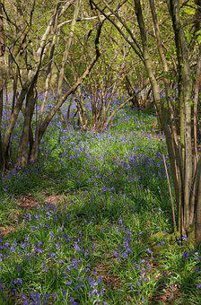 Bluebells, Bluebell Woods, Spring, Forest, Blue, Nature