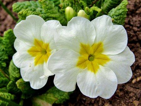 Spring, White, Nature, Flowers, Garden Key Flowers
