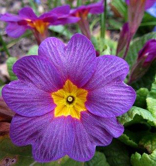 Spring, Violet, Nature, Flowers, Garden Key Flowers