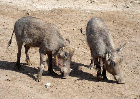 Warthog, Suidé, Suidae, African Pig, Wild, Fauna