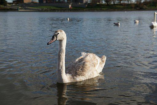 Baby, Swan, Swans, Prices Park, Eastbourne, Sunny, Day