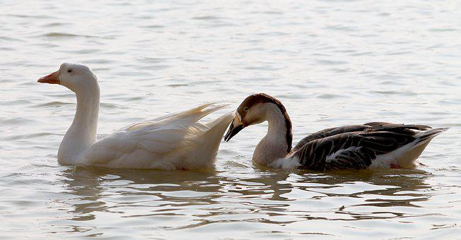 Couple, Swan, Bird, Lake, Pair, White, Two, Together