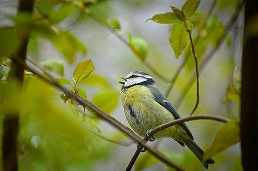 Blue Tit, Tit, Songbird, Bird, Small Bird, Spring, Tree