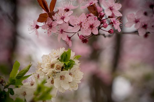 Cherry Blossom, Spring, Pink, Tree, Blossom, Bloom