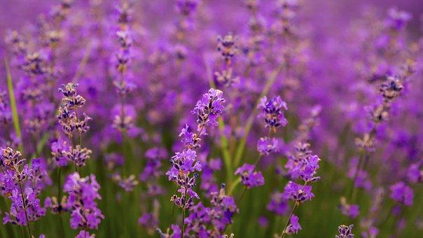 Flowers, Lavender, Purple, Violet, Nature, Plant