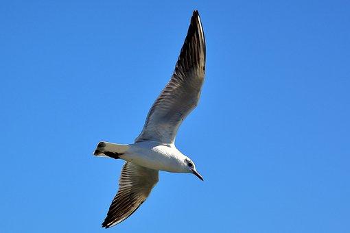 Seagull, Baltic Sea, Maritime, Seevogel, Water Bird
