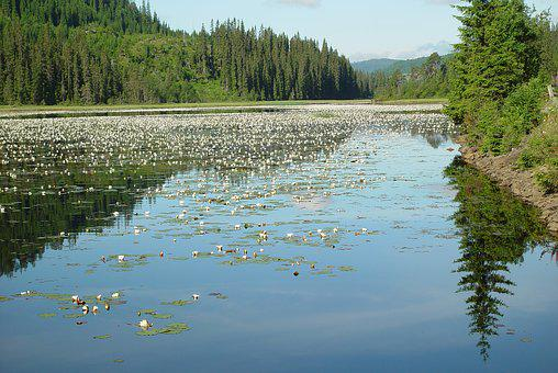 Lake, Water Lilies, Norway, Nature, Water, Blossom