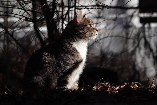 Cat, Domestic Cat, Pet, Mackerel, Whiskers