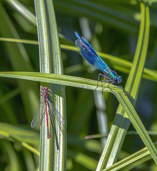 Damselfly, Banded, Blue, Red, Wings, Veins, Insect