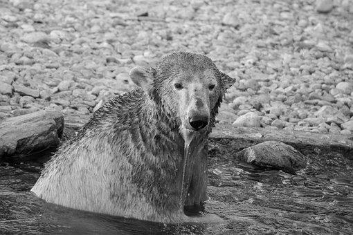 Polar Bear, Tallinn, Zoo, Estonia