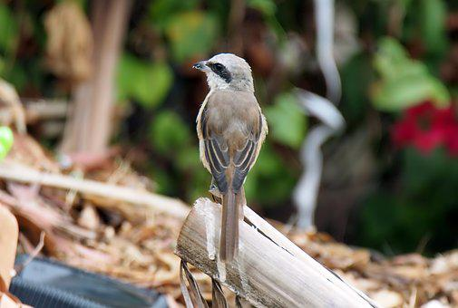 Young, Adult, Brown, Shrike, Bird, Wild, Wildlife