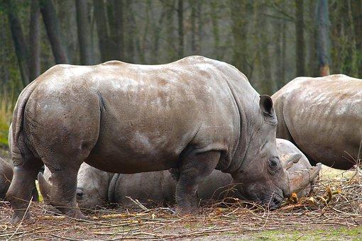Rhino, Animal, Africa, Animal World, Mammal, Nature