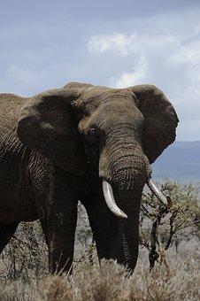 Africa, Elephant, Steppelandskap, The Steppes