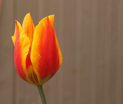 Tulip, Plant, Flower, Blossom, Bloom, Stem, Agriculture