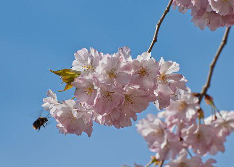 Cherry Blossom, Blossom, Bloom, Tree, Pink, Spring