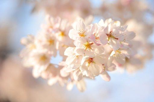 Japan, Cherry Blossoms, Sunset