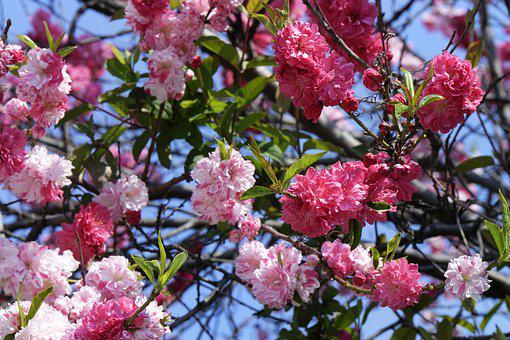 Flowers, Blooming, Cherry, Japanese, Decorative