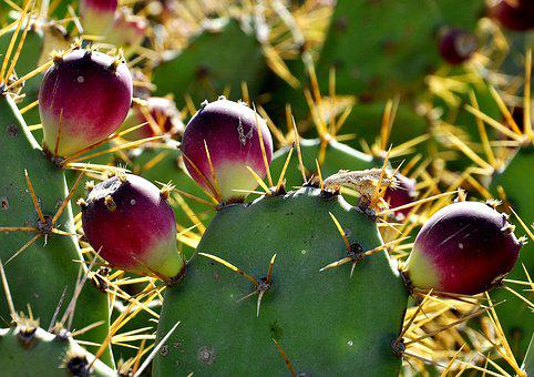 Cactus, Nature, Plant, Prickly, Flora, Spur, Green